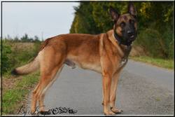 Giango, chien Berger belge