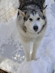 Giant, chien Malamute de l'Alaska