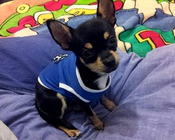 Gibbles, chien Chihuahua