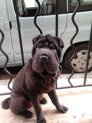Gibbs, chien Shar Pei