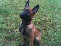 Gibbs, chien Berger belge