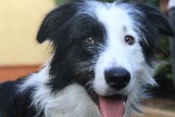 Gibbs, chien Border Collie