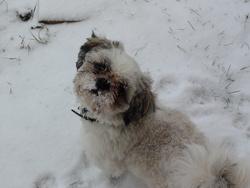 Gibbs, chien Shih Tzu