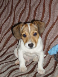 Gibbs, chien Jack Russell Terrier