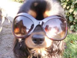 Gibbs, chien Cavalier King Charles Spaniel