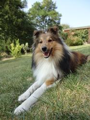 Gibbs, chien Berger des Shetland