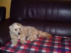 Gibbs, chien Bichon havanais