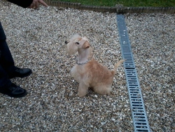Gibbs, chien Lakeland Terrier