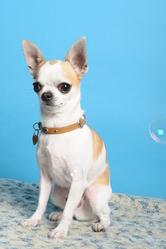 Gibbs, chien Chihuahua