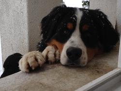 Gibbs, chien Bouvier bernois