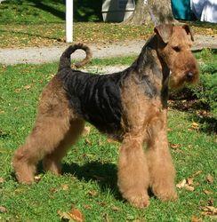Gibbs, chien Airedale Terrier