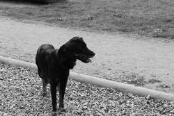 Gibbs, chien