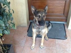 Gibbs, chien Berger allemand
