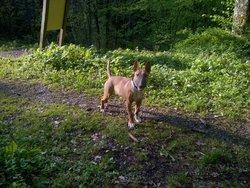 Gibbs, chien Bull Terrier