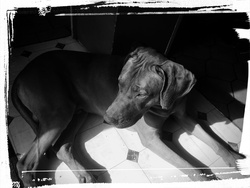 Gibbs, chien Rhodesian Ridgeback