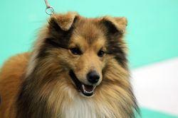 Gibbs Du Jardin D'Angélique, chien Berger des Shetland