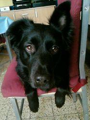 Gibby, chien Berger hollandais