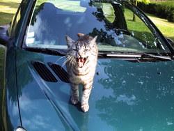Gibs, chat Gouttière