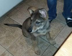 Gibs, chien Berger allemand