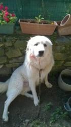 Gibs, chien Chien de montagne des Pyrénées