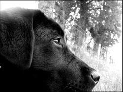 Gibson , chien Labrador Retriever