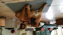 Gibson, chien Bullmastiff