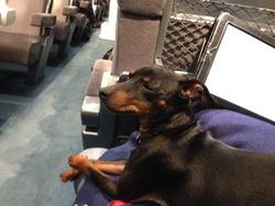Gibson, chien Pinscher