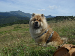 Gibson, chien Chow-Chow