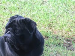 Gibson, chien Carlin