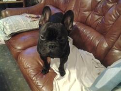 Gibus, chien Bouledogue français