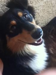 Gibus, chien Berger australien