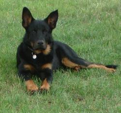 Gibus, chien Beauceron