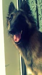 Gibus, chien Berger belge