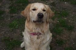 Gicy, chien Golden Retriever