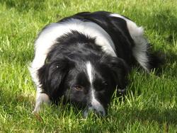 Giffie, chien Border Collie