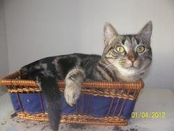 Gifie, chat Européen