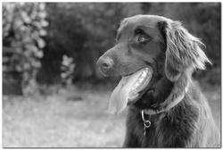 Giga, chien Flat-Coated Retriever