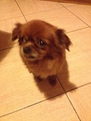 Giga, chien Épagneul tibétain