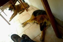 Giger Milongo, chien Berger allemand