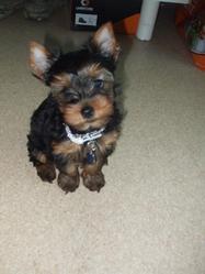 Giggi, chien Yorkshire Terrier