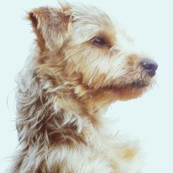 Gigi, chien Yorkshire Terrier