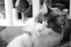 Gigi, chat Maine Coon