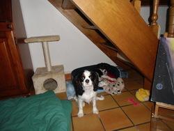 Gigi, chien Cavalier King Charles Spaniel