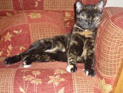 Gigi, chat Européen