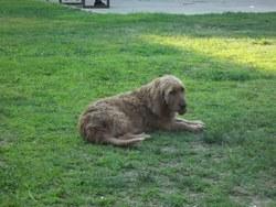 Gigi, chien Basset fauve de Bretagne
