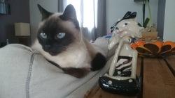 Gigi, chat Siamois