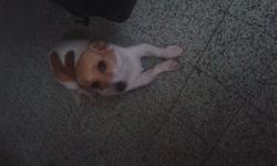 Gigi, chien Retriever de la Nouvelle-Écosse