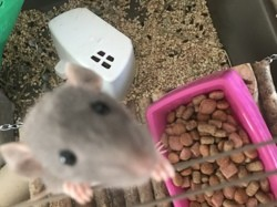 Gigi, rongeur Rat