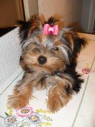 Gigie, chien Yorkshire Terrier