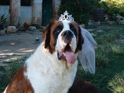 Gigina, chien Saint-Bernard